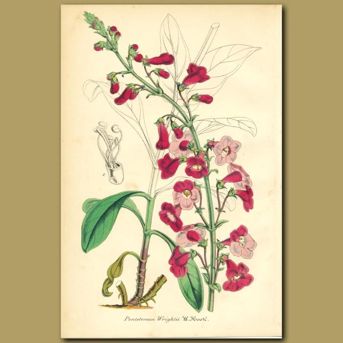 Antique print. Texas Rose (Penstemon wrighti)