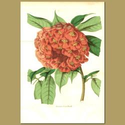 Scarlet Flame Bean (Brownea ariz)