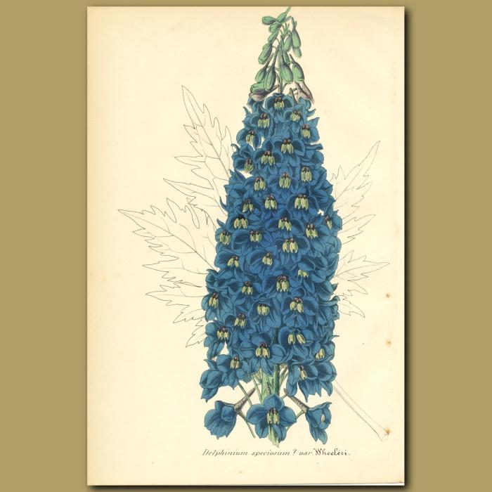 Antique print. Chinese Delphinium (Delphinium speciosum var. Wheeler)