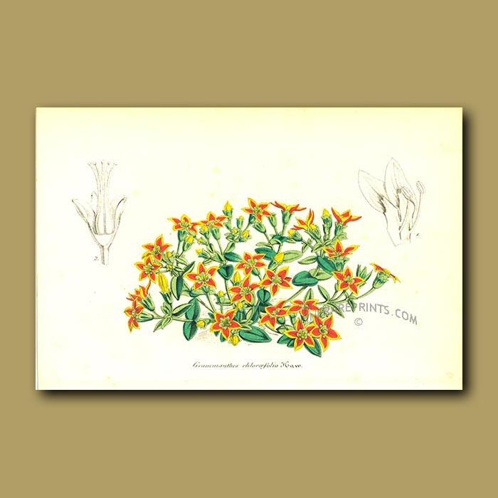 Antique print. Succulent (Grammanthes chloraeflor)