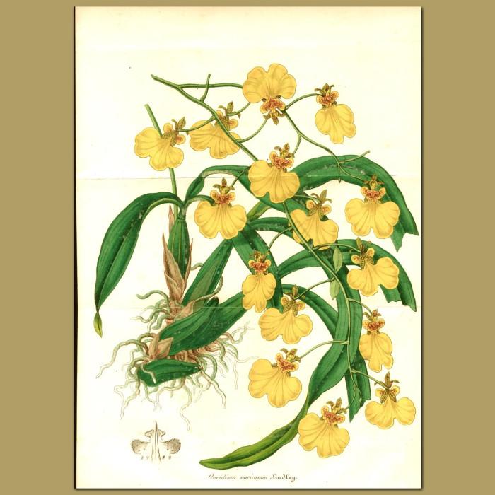 Antique print. Orchid (Oncidium varicosu)