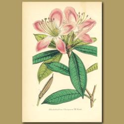 Rhododendron (Rhododenrum champion)