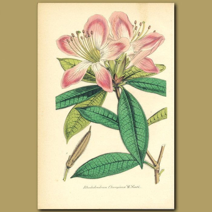 Antique print. Rhododendron (Rhododenrum champion)