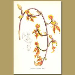 Three-tongued Orchid (Oncidium trilingue)