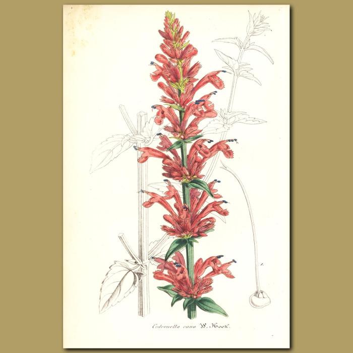 Antique print. Mosquito Plant (Cedronella can)