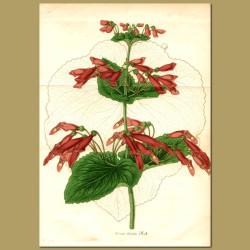 Gesneriad (Dircaea lobulat)