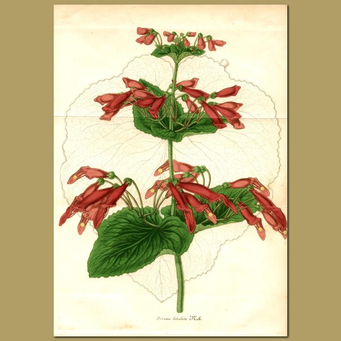 Antique print. Gesneriad (Dircaea lobulat)