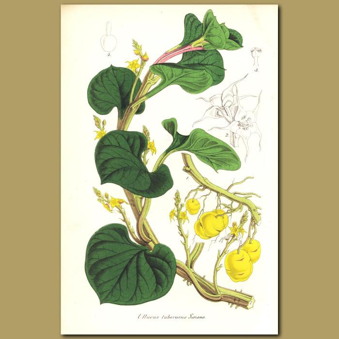 Antique print. Root vegetable (Ullucus tuberosu)