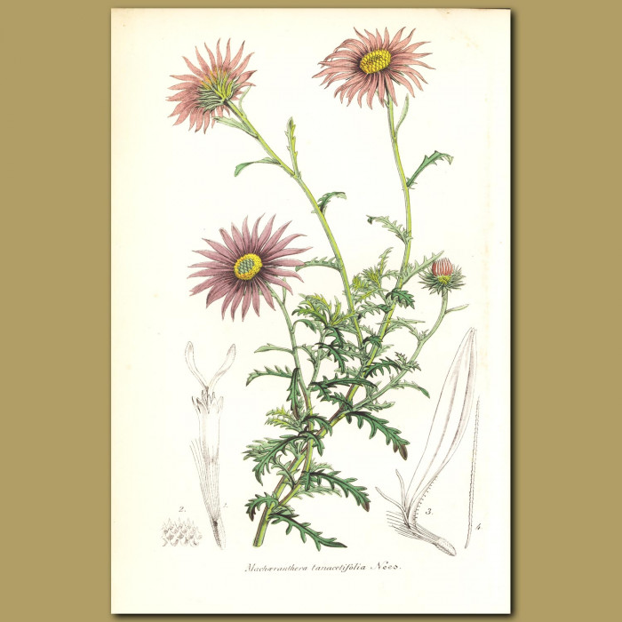 Antique print. Tahoka Daisy (Machaeranthera tanacetifolia)
