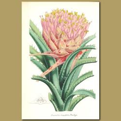 Bromelia longifolia