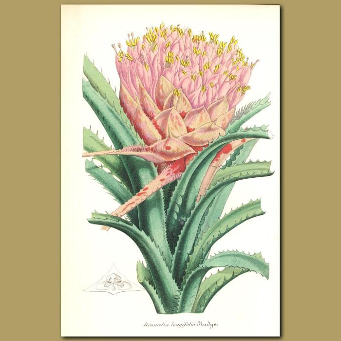 Antique print. Bromelia longifolia