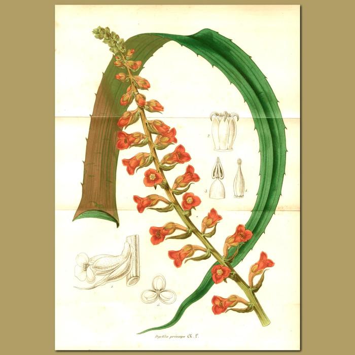 Antique print. Bromeliad (Dyckia princep)