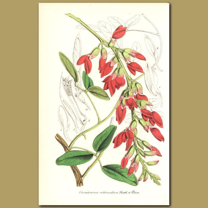 Antique print. Camptosema rubicundum
