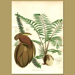 Wallich's Dwarf Fishtail Palm (Wallichia densiflor)
