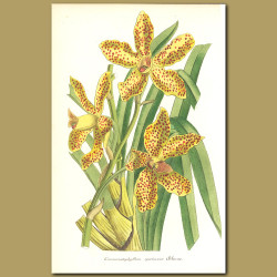 Giant or Tiger Orchid (Grammatophyllum speciosu)