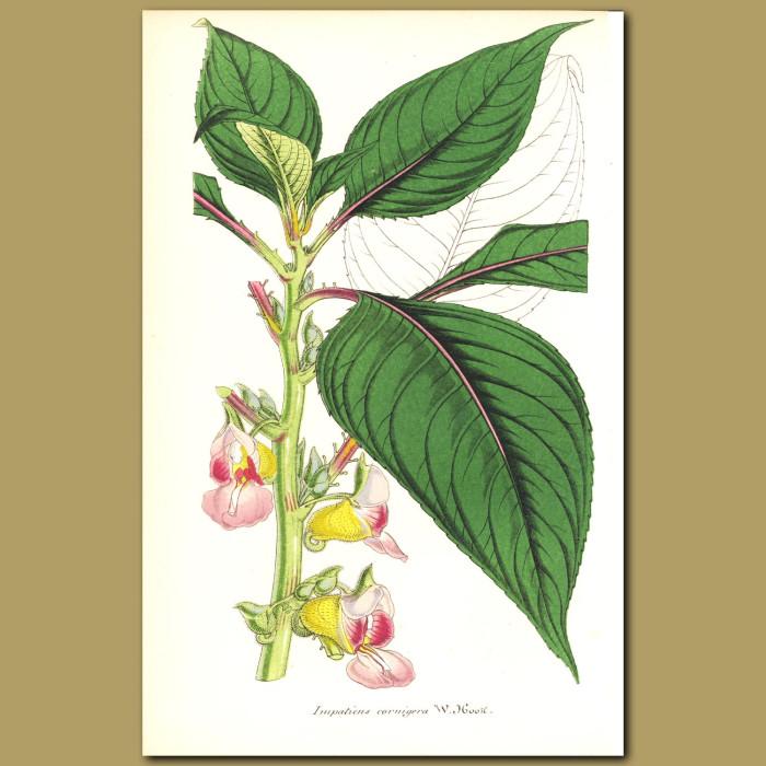 Antique print. Grammatophyllum speciosum