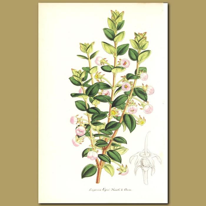 Antique print. Chilean Guava (Eugenia ugni )