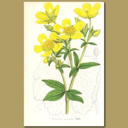 Azores Buttercup (Ranunculus cortusaefoliu)