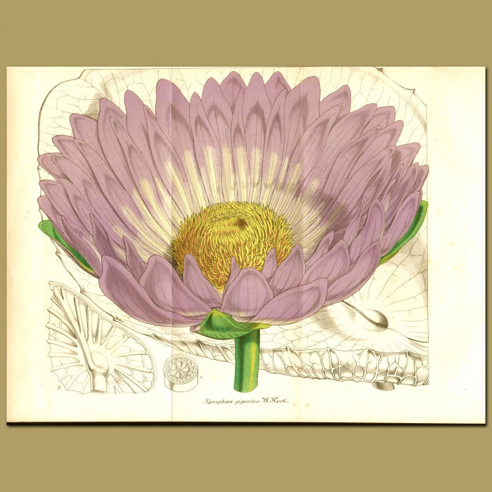 Antique print. Giant Waterlily (Nymphaea gigante)