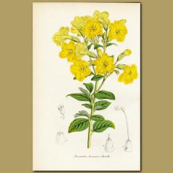 Marmalade Bush (Browallia jameson)