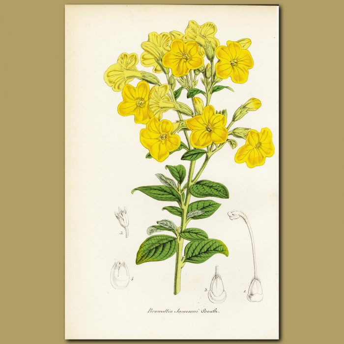 Antique print. Marmalade Bush (Browallia jameson)