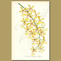 Epidendrum orchid (Epidendrum stamfordianu)