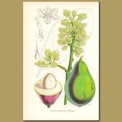 Avocado (Persea gratissima )