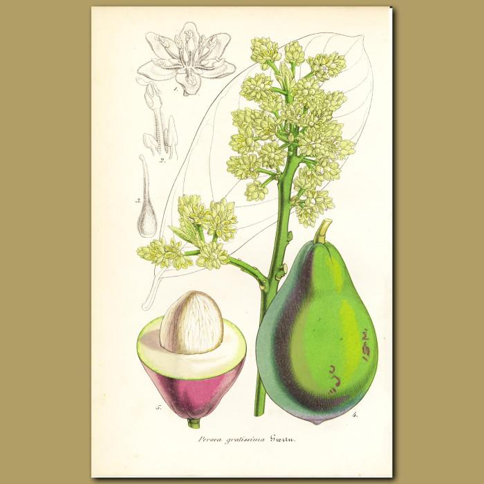 Antique print. Avocado (Persea gratissima )