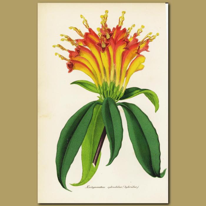 Antique print. Aeschynanthus splendidus - gesneriad