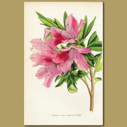 Indian Azalea (Azalea indica)