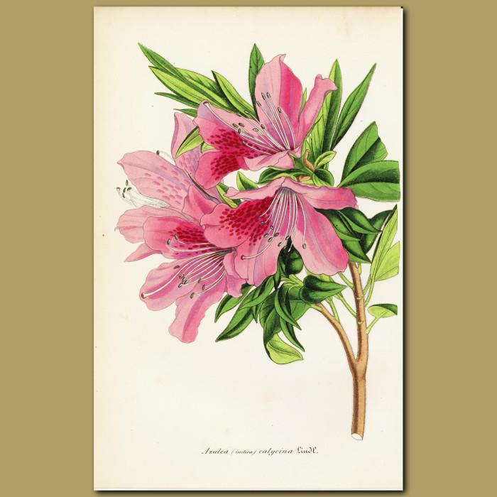 Antique print. Indian Azalea (Azalea indica)