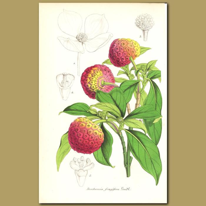 Antique print. Himalyan Strawberry Tree (Benthamia fragifer)