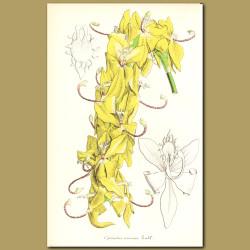 Orchid (Cycnoches aureu)