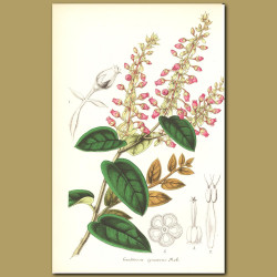 Checkerberry (Gaulthiera ignescen)