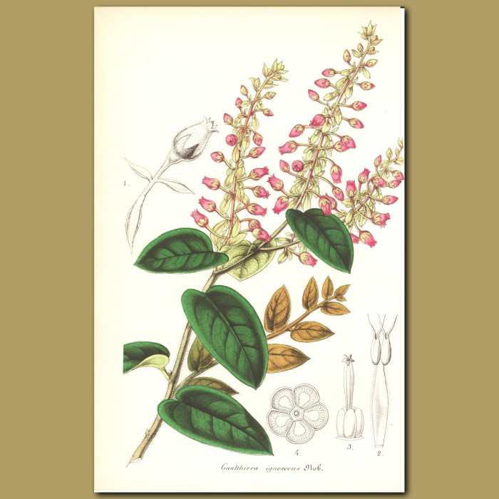 Antique print. Checkerberry (Gaulthiera ignescen)