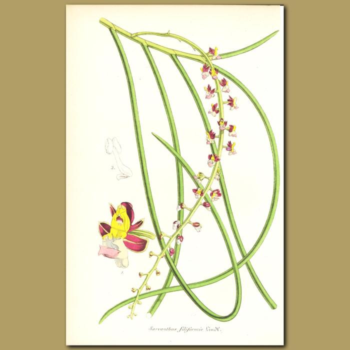Antique print. Orchid (Sarcanthus filiformi)