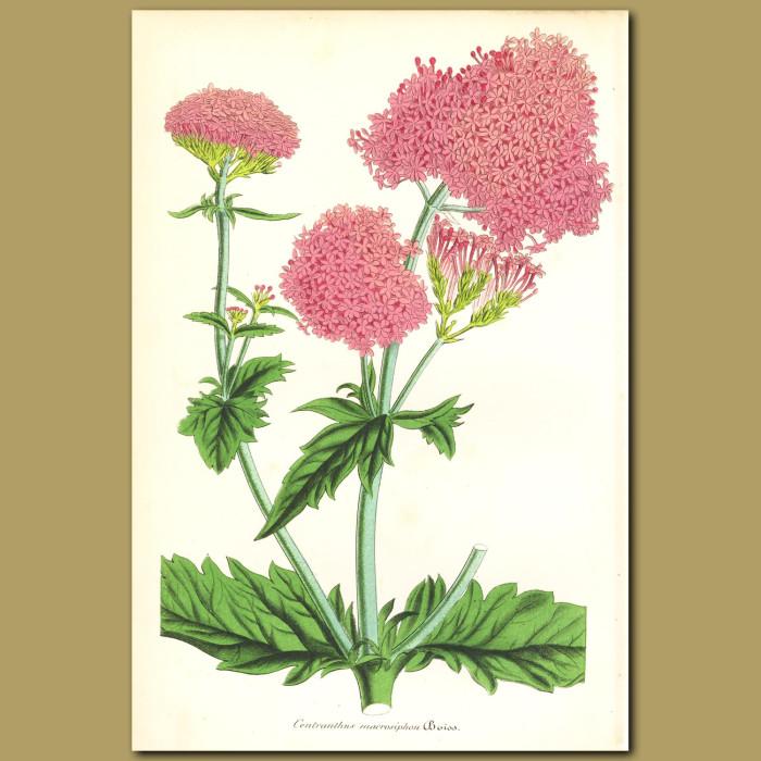 Antique print. Pretty Betsy (Centranthus macrasipho)