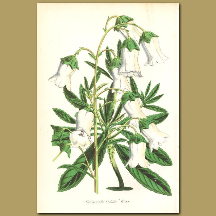 Antique print. Campanula vidalii