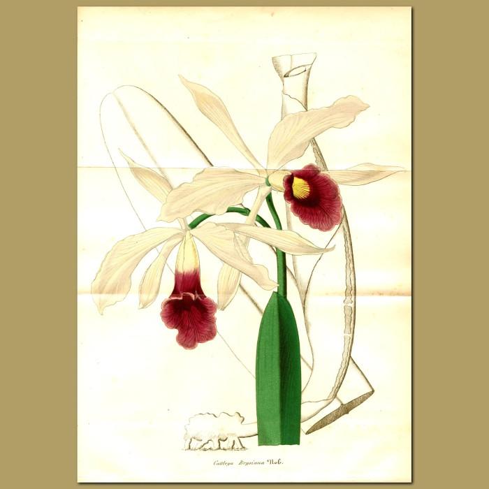 Antique print. Orchid (Cattleya brysian)