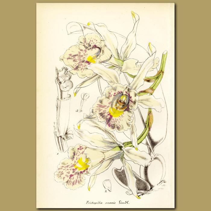 Antique print. Orchid (Trichopilia suavi)