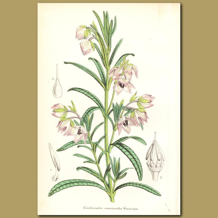 Antique print. Guichenotia macrantha