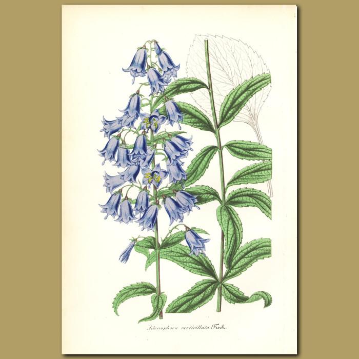Antique print. Adenophora verticillata