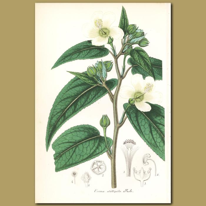 Antique print. Caesar Weed (Urena stellipil)