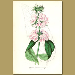 Cashmir Sage (Phlomis cashmerin)