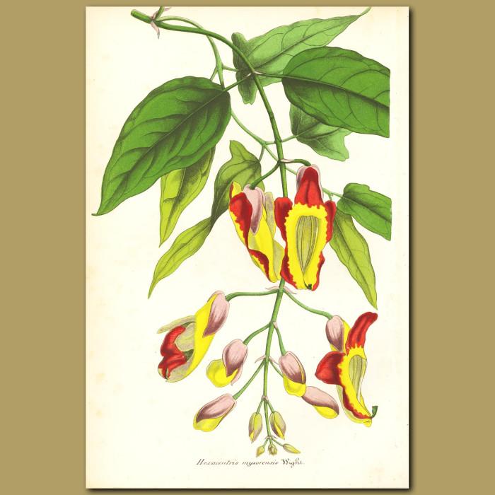 Antique print. Orchid (Hexacentris mysorensi)