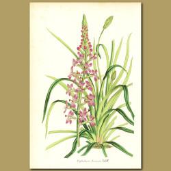 Thrift-leaved triggerplant (Stylidium armeria)