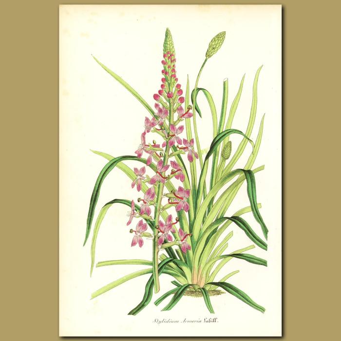 Antique print. Thrift-leaved triggerplant (Stylidium armeria)