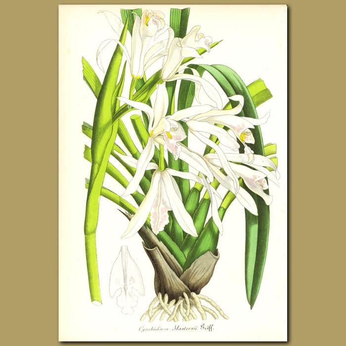 Antique print. Orchid (Cymbidium mastersi)