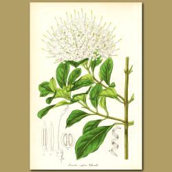 South African Pavetta (Pavetta caffr)
