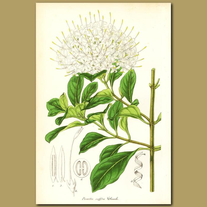 Antique print. South African Pavetta (Pavetta caffr)